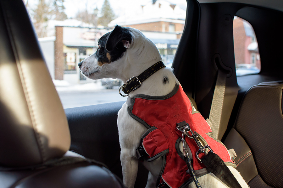 dog looking out window of car inside, Pet safety and cute dog in car on road trip wearing seat belt harness  driving on city streets conceptual dog lifestyle photography for pet owners or pet insurance concept